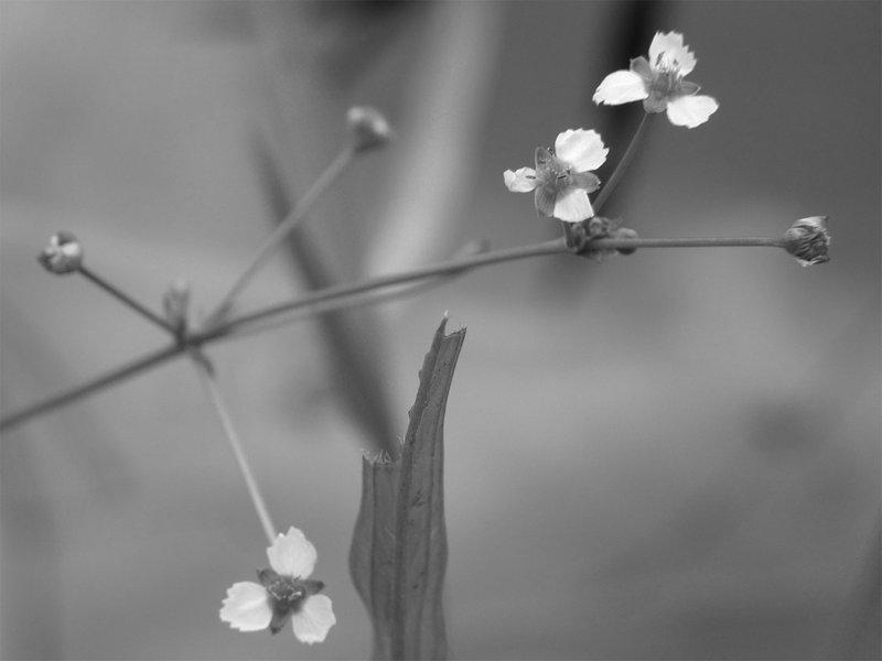 Die Wasserpflanze »Alisma«