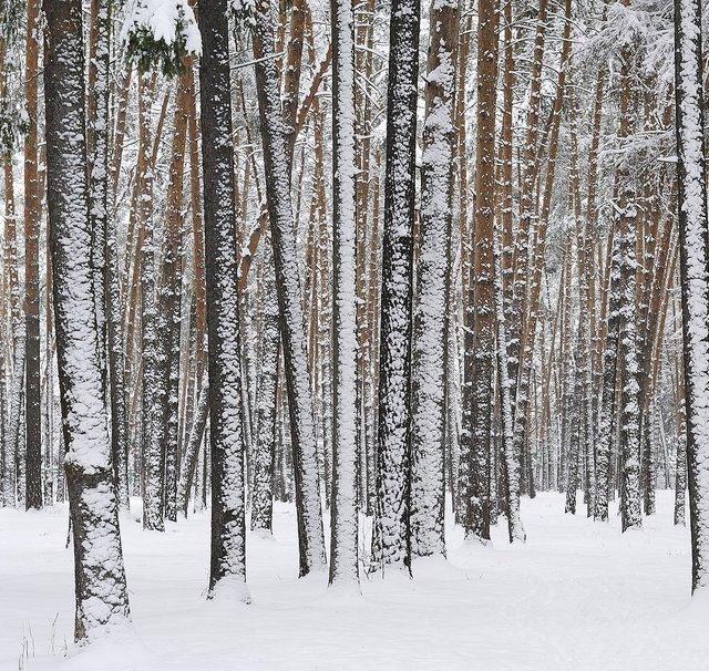 verschneiter Birkenwald